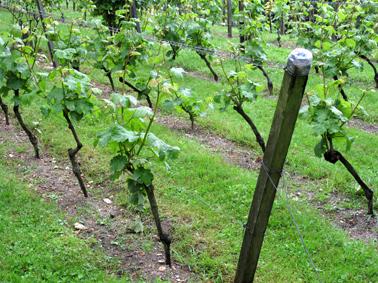 Vigne Nogent sur Marne